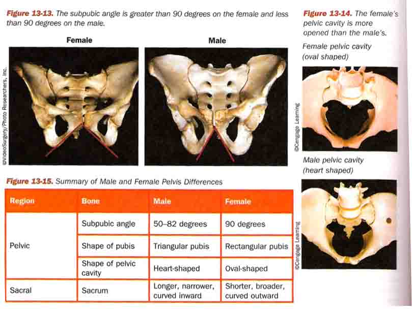 Determining Sex Forensic Anthropology Review